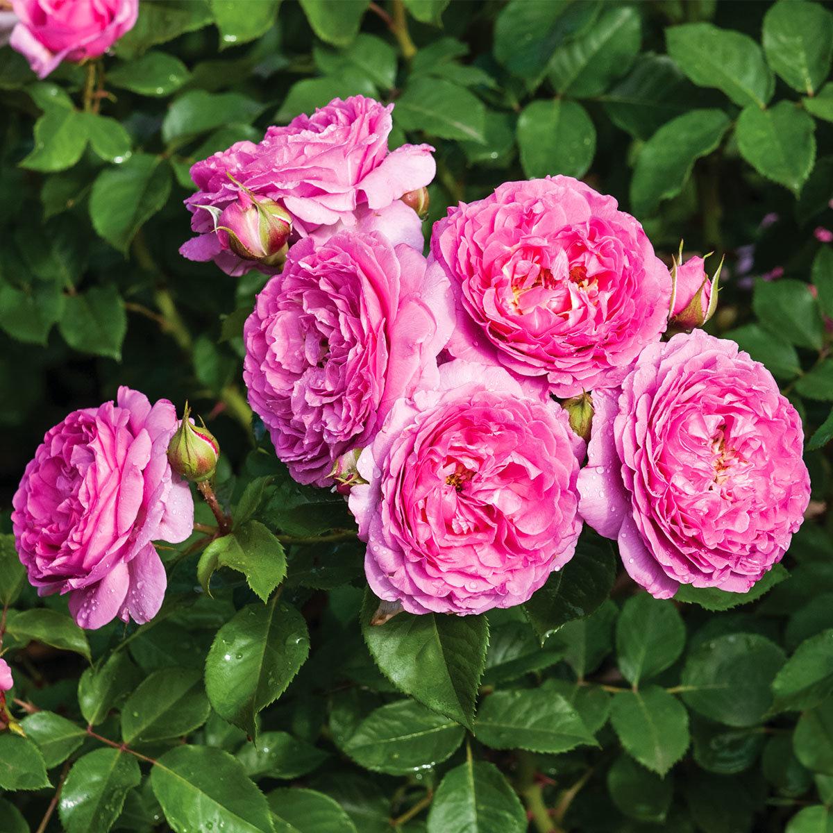 Essbare Culinaric Rose, pink, im ca. 22 cm-Topf | #3