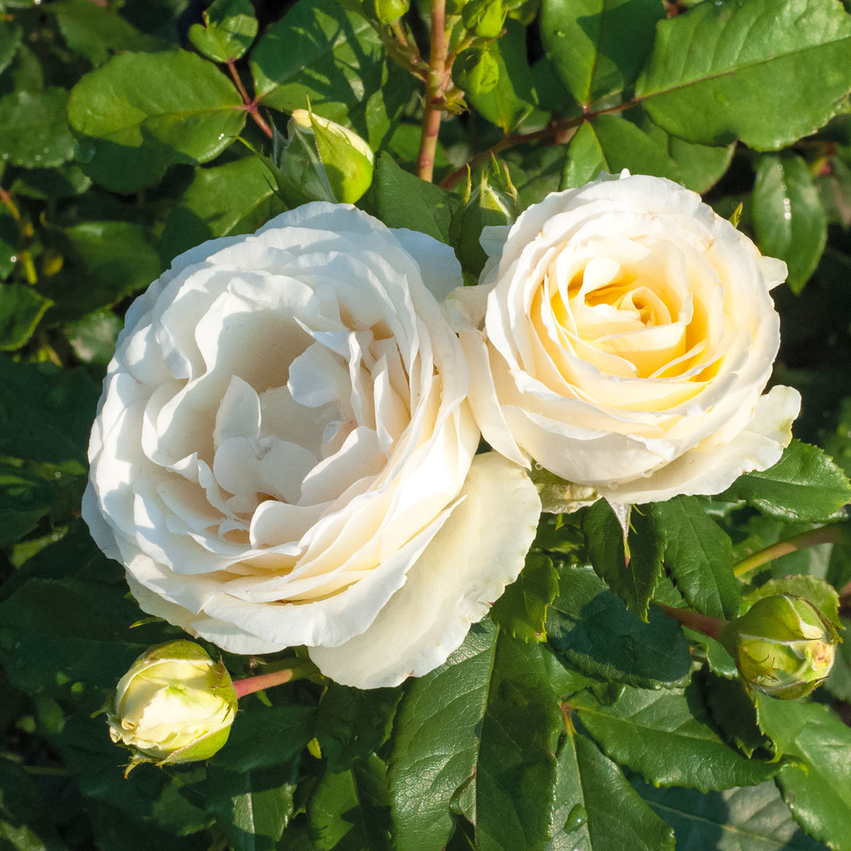 Edelrose Pearl Vaza, wurzelverpackt | #3