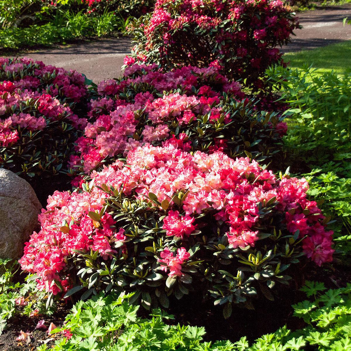 Historischer Rhododendron Hildegard M., im ca. 23 cm-Topf | #3