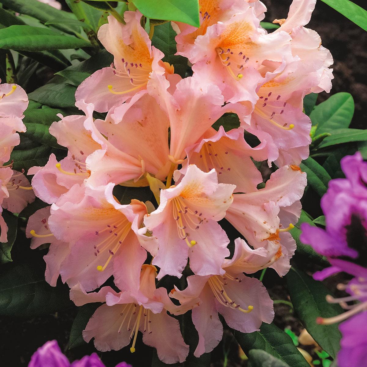 Historischer Rhododendron Gertrud H., im ca. 23 cm-Topf   #3