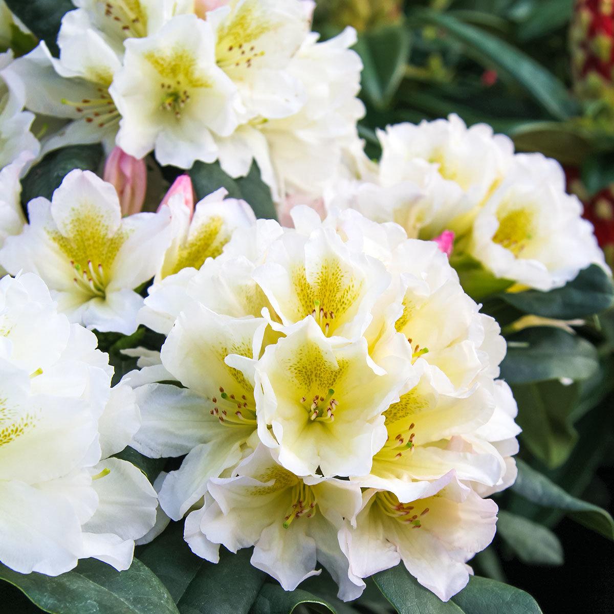 Historischer Rhododendron Luise V., im ca. 23 cm-Topf   #3