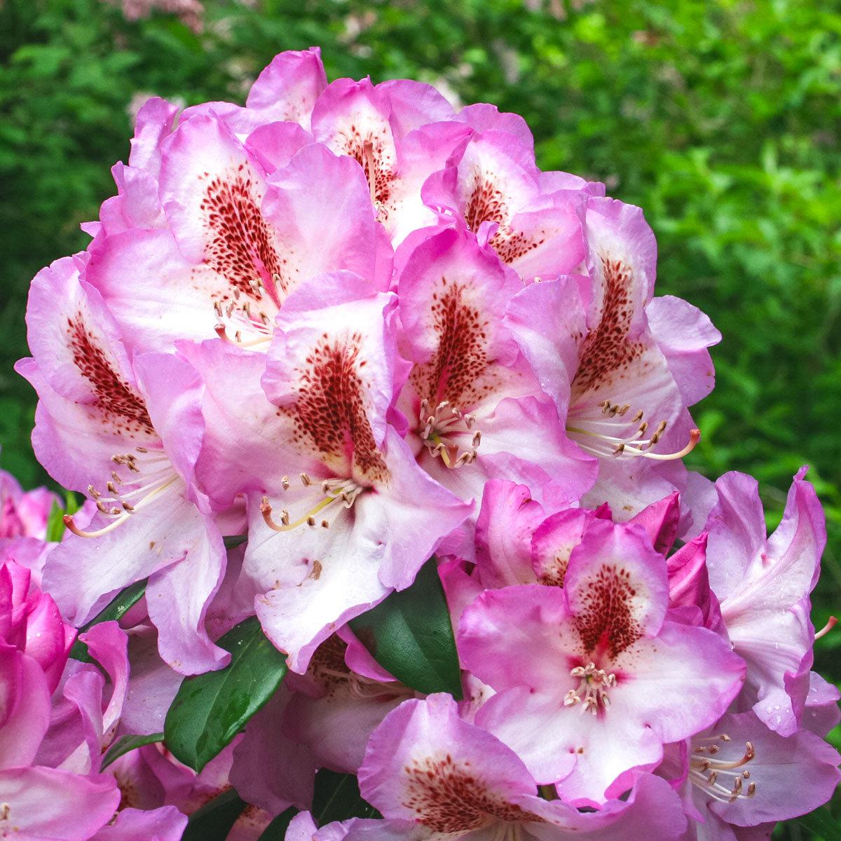 Historischer Rhododendron Emma P., im ca. 23 cm-Topf | #3