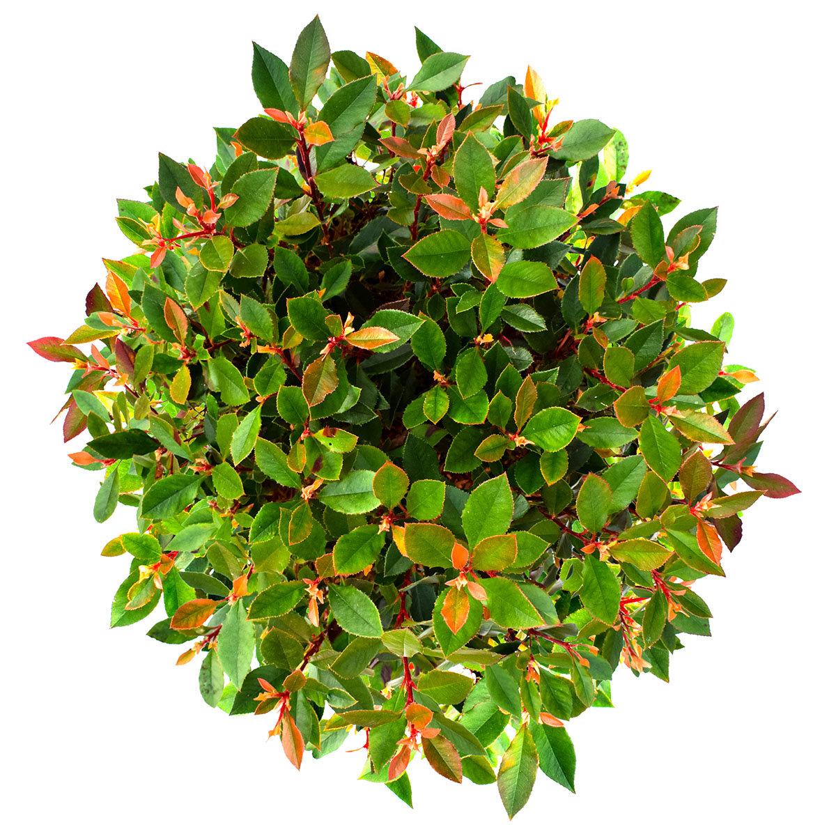 Glanzmispel, grün-rot, im ca. 24 cm-Topf | #3