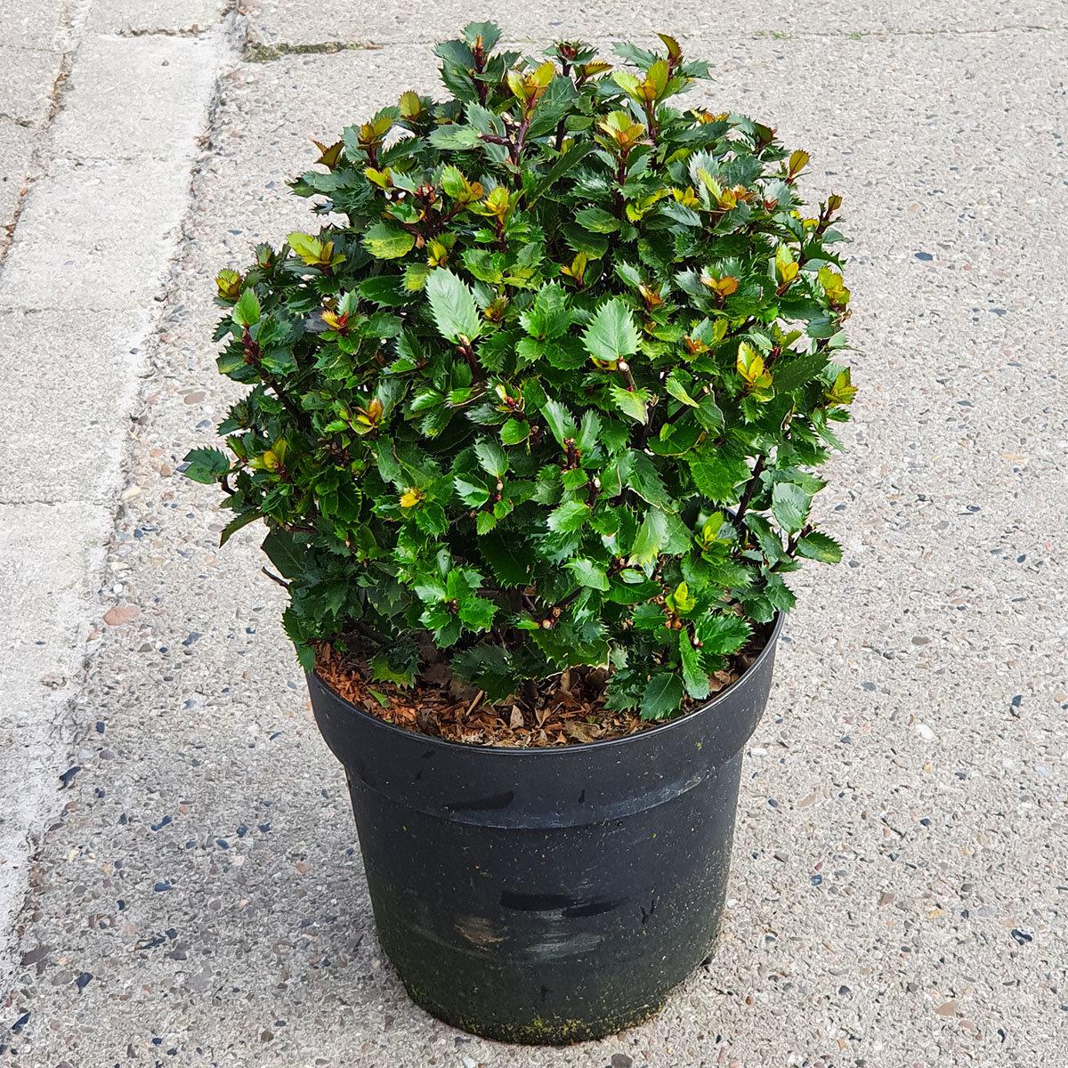 Stechpalme, dunkelgrün, im ca. 21 cm-Topf | #3