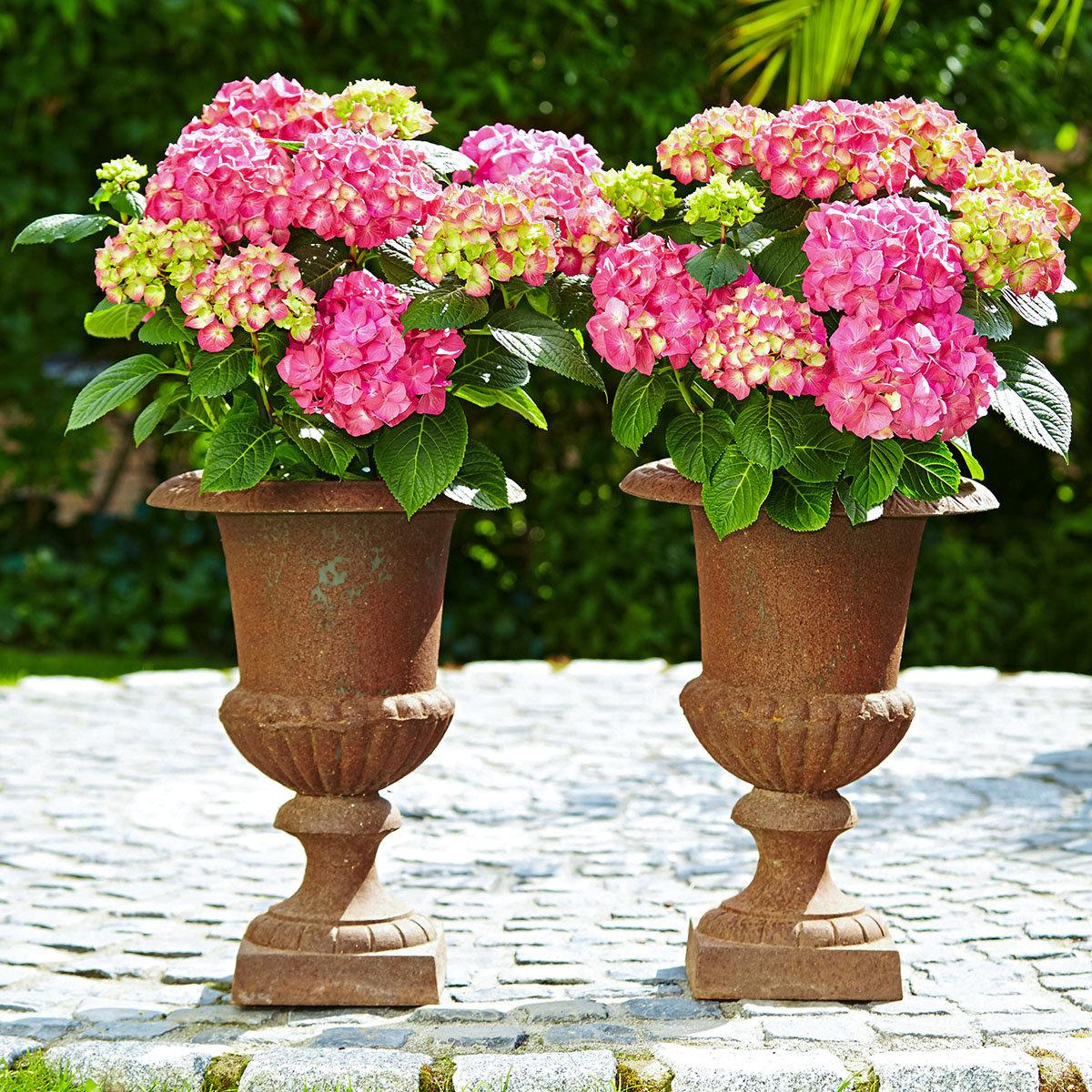 Hortensie Diva fiore®, rosa, im ca. 22 cm-Topf   #3