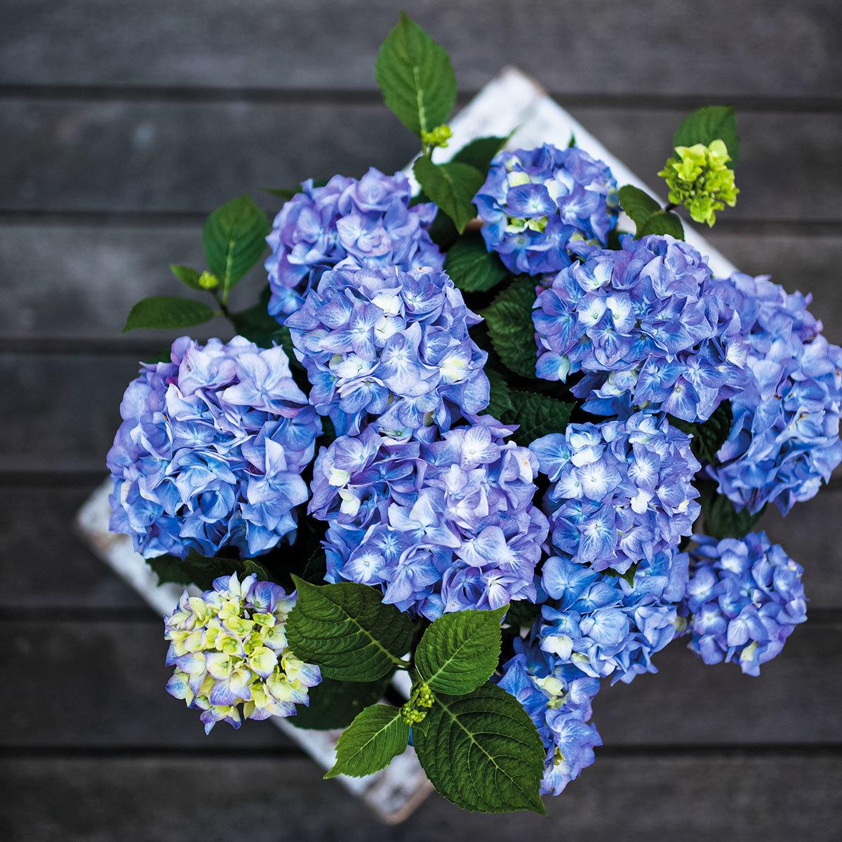 Hortensie Diva fiore®, blau, im ca. 22 cm-Topf | #3