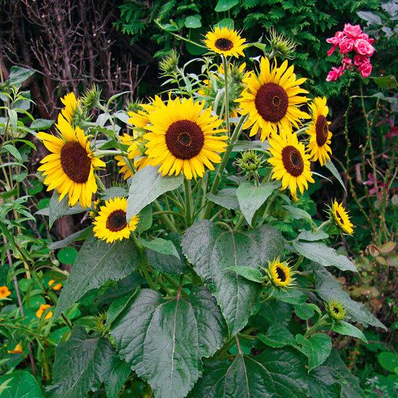 Sonnenblumensamen Waooh | #3
