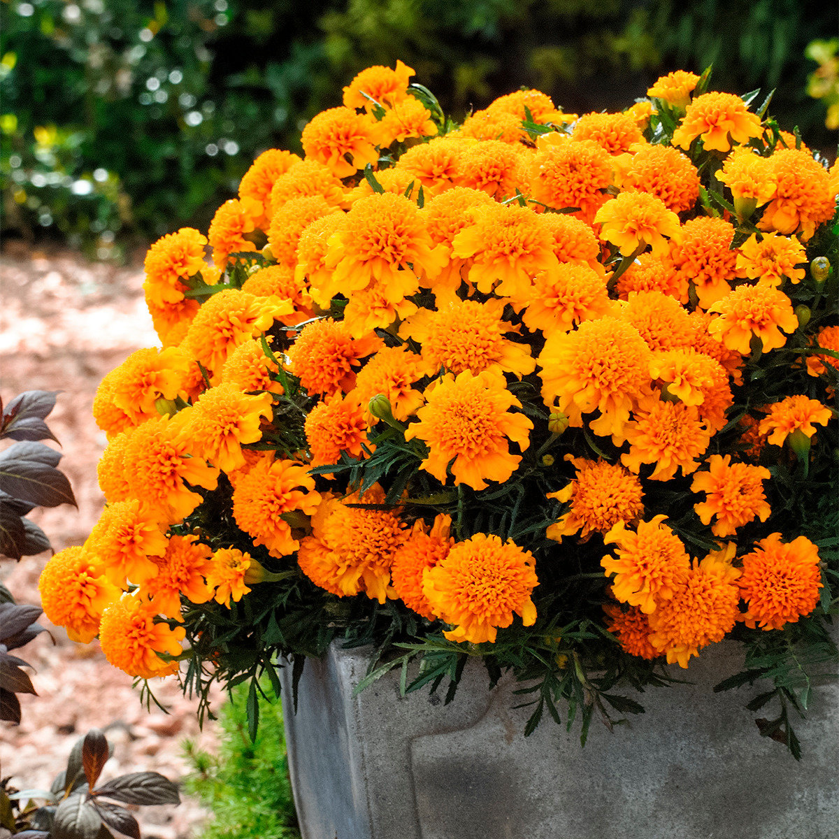 Tagetes Chasca | #3