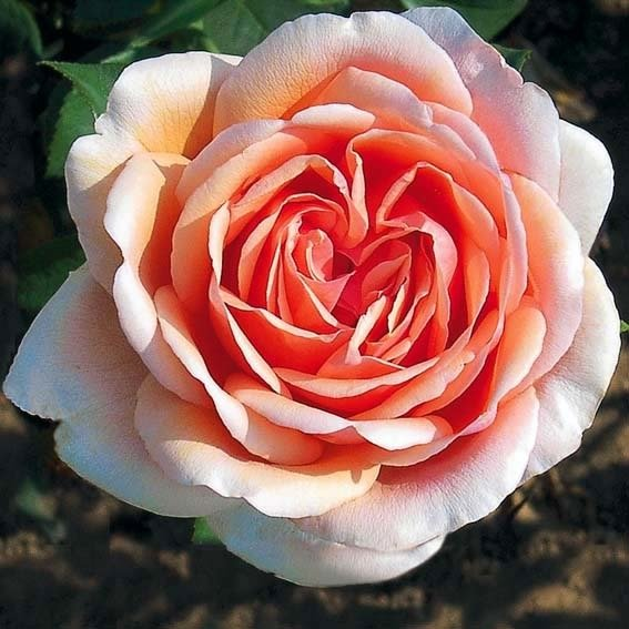 Meister-Rose® Cornelia Pötschke®, Stamm | #3