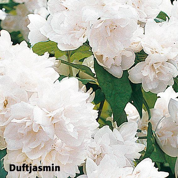 Gärtner Pötschkes Blütenhecke, 5 Pflanzen | #3