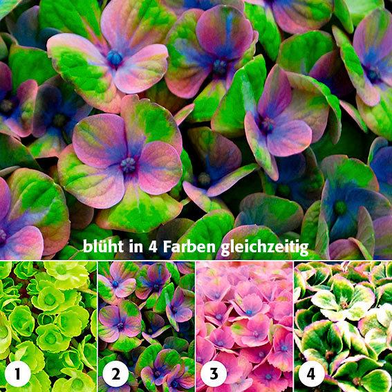 Garten-Hortensie Magical® Coral Blue | #3