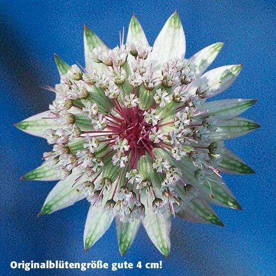Weiße Sterndolde, im ca. 9 cm-Topf | #3