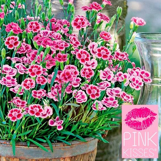 Prinzess-Nelke Pink Kisses®, im ca. 9 cm-Topf | #3