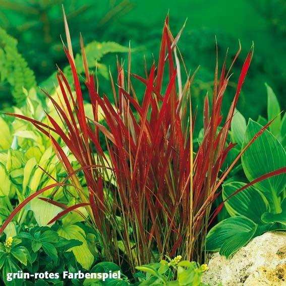 Blutgras Red Baron, im ca. 9 cm-Topf | #3