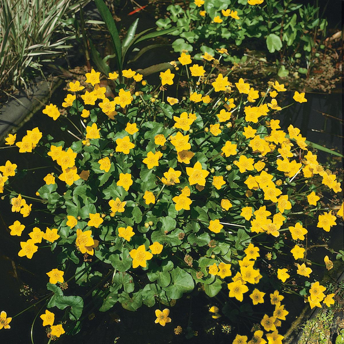 Gelbe Sumpfdotterblume, im ca. 9 cm-Topf | #3