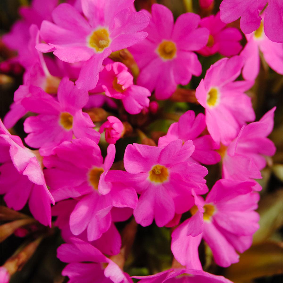 Rosenprimel, rosa, im ca. 9 cm-Topf | #3