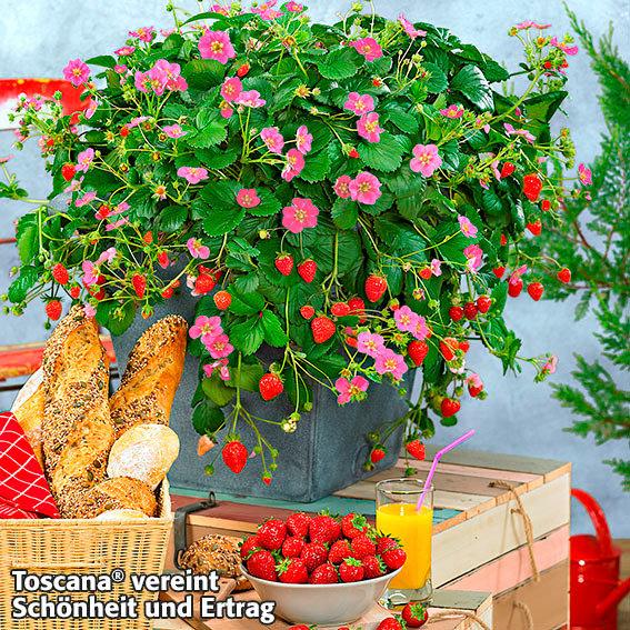 erdbeerpflanze kussmund erdbeere toscana getopft online kaufen bei g rtner p tschke. Black Bedroom Furniture Sets. Home Design Ideas
