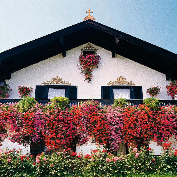 Sommerblumen-Sortiment Hänge-Geranien | #3