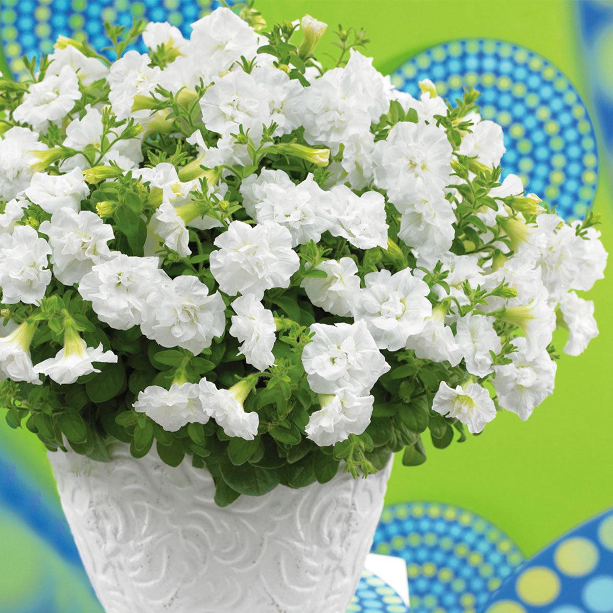 Sommerblumen-Sortiment Rosen-Petunien | #3