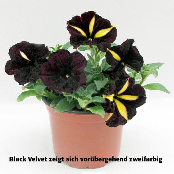panther petunie black velvet online kaufen bei g rtner p tschke. Black Bedroom Furniture Sets. Home Design Ideas