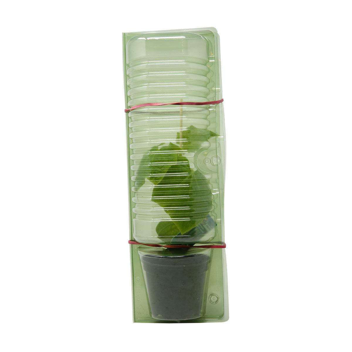 Gurkenpflanze Picolino F1, veredelt | #3