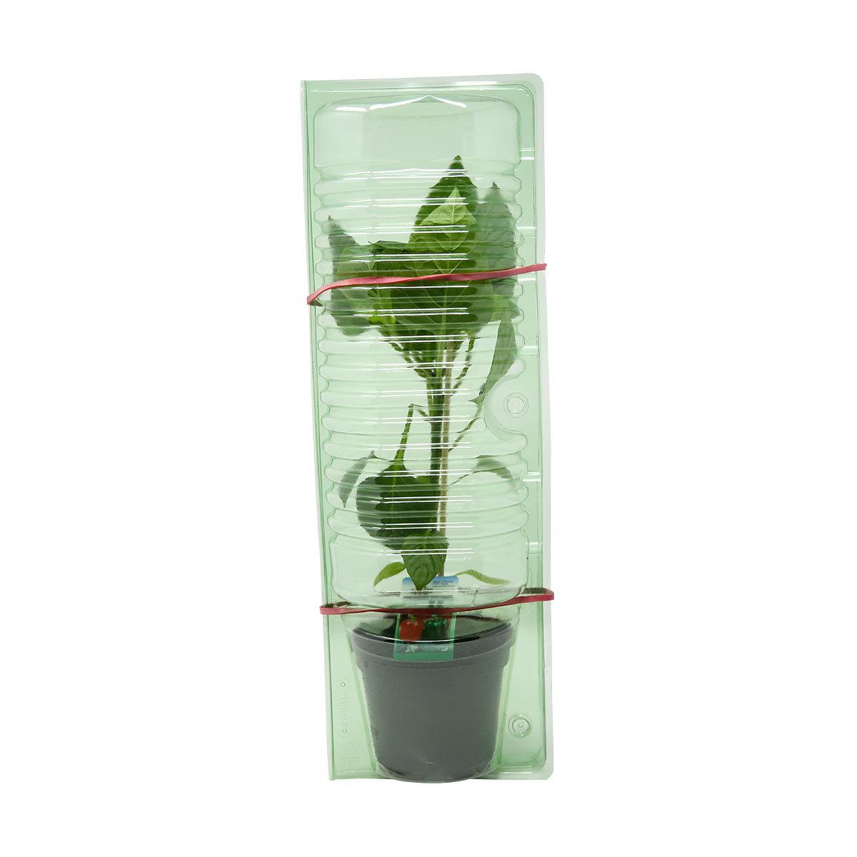 Paprikapflanze Bendigo F1, veredelt | #3