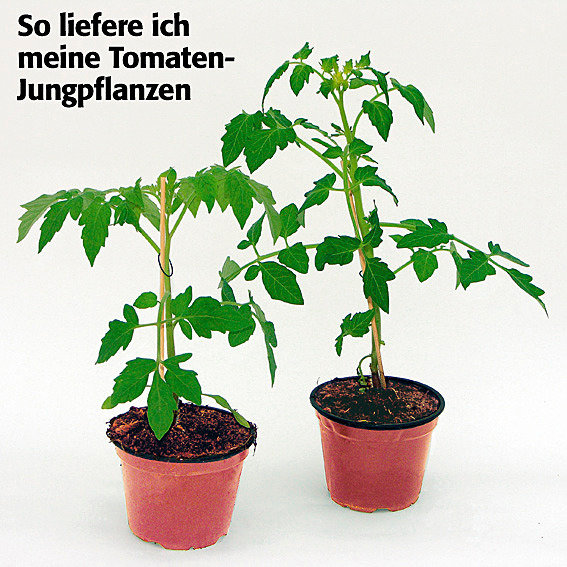 Tomatenpflanze Pink Brandywine | #3