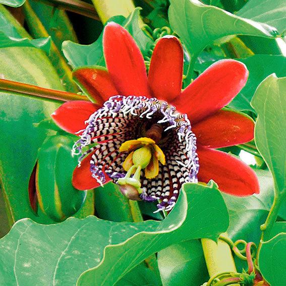 Königs-Grenadille Riesenpassionsblumensamen | #3