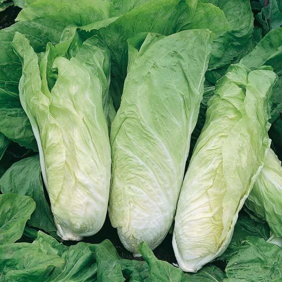 Salatsamen Zichorie Zuckerhut | #4
