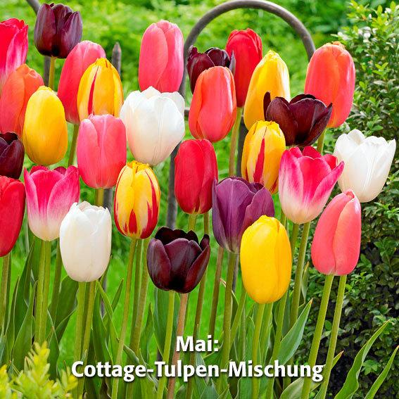 Blumenzwiebel-Sortiment 12 Wochen Tulpen-Blüte | #4
