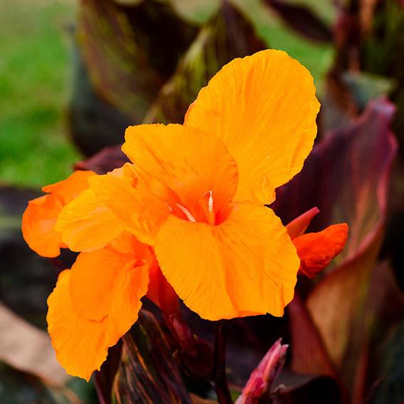 Riesen-Canna Tropicanna (Indisches Blumenrohr) | #4
