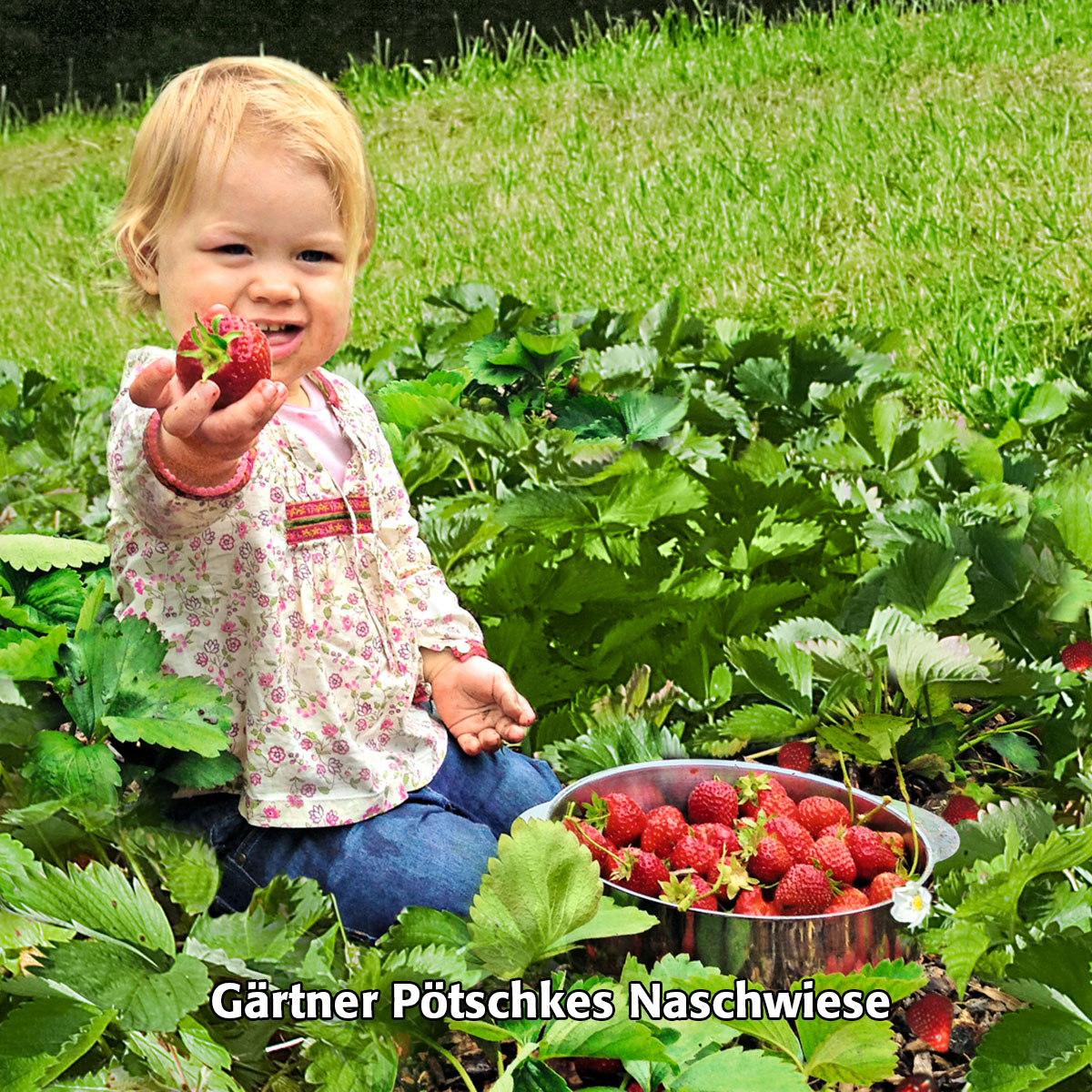 Gärtner Pötschkes Erdbeersorten Auslese, getopft | #4