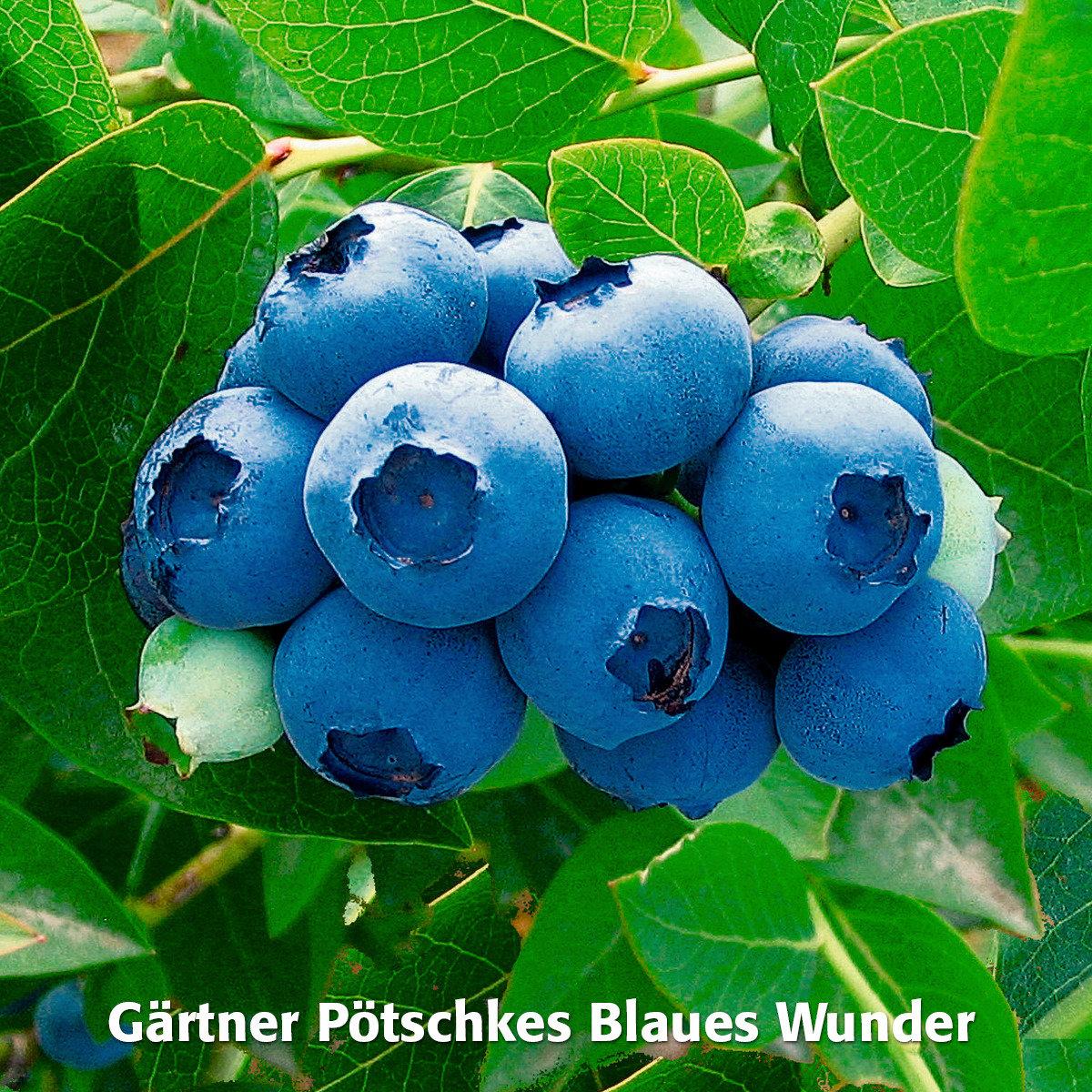 Obst-Sortiment Leckere Kultur-Heidelbeeren | #4