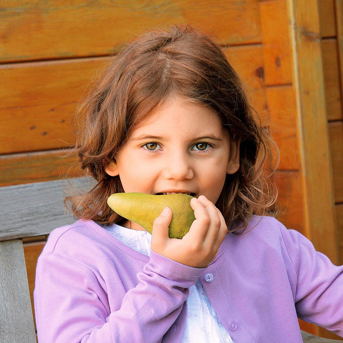 Säulen-Birne Concord(S), 2-jährig | #4
