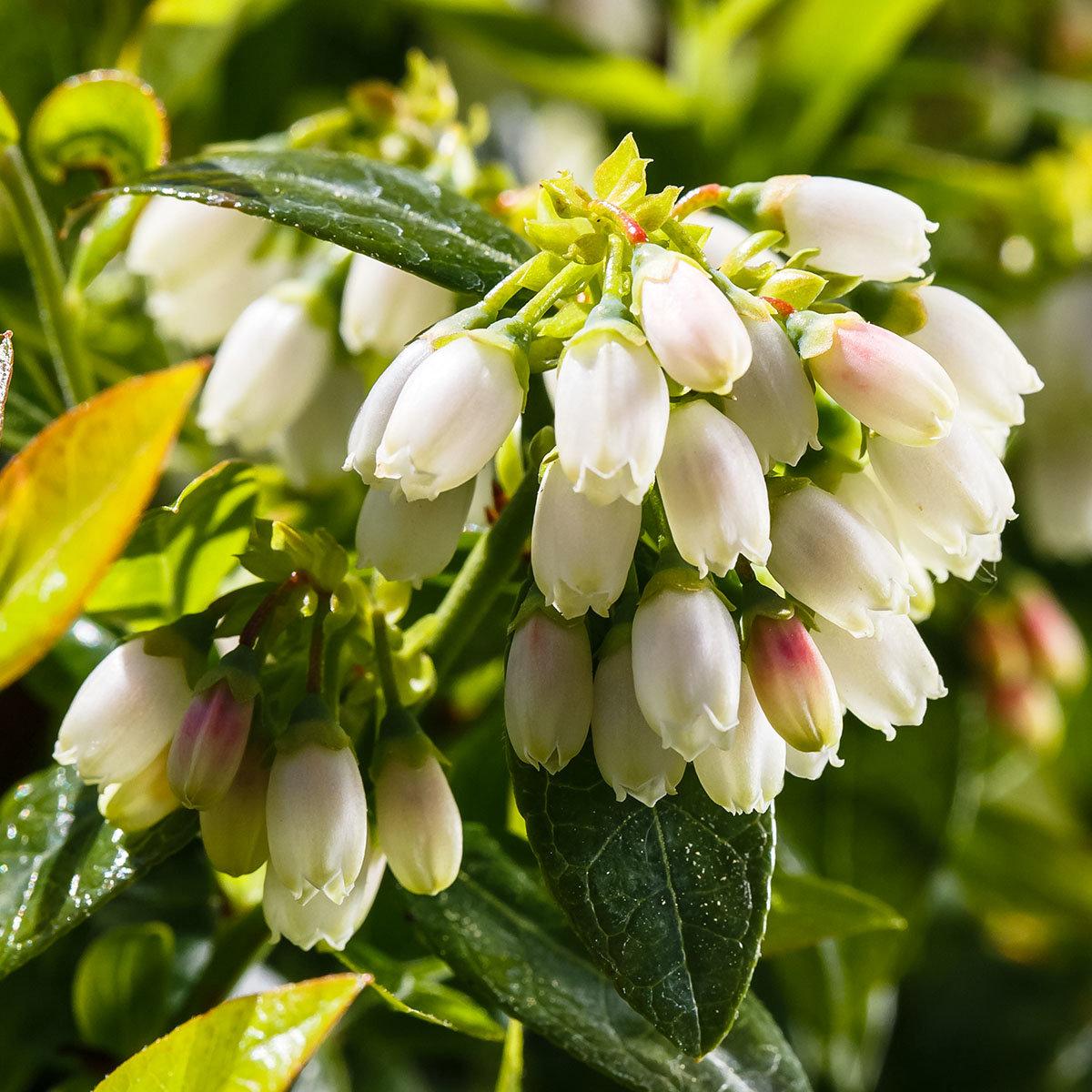 Heidelbeere BrazelBerry® Berry Bux® - Laufender Meter, 6 Pflanzen, im ca. 11 cm-Topf | #4