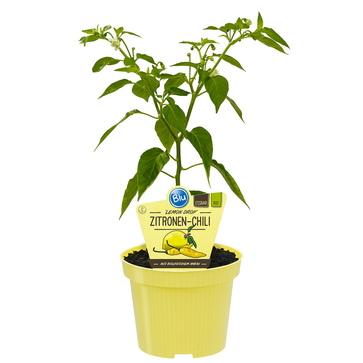 Paprikapflanze Zitronen-Chili | #4