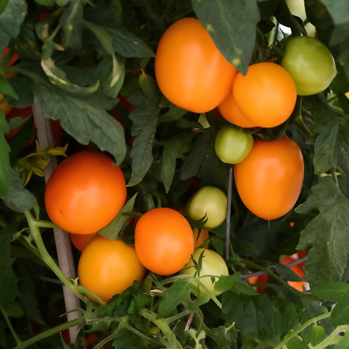 Tomatensamen Sunrise Sauce F1 | #4