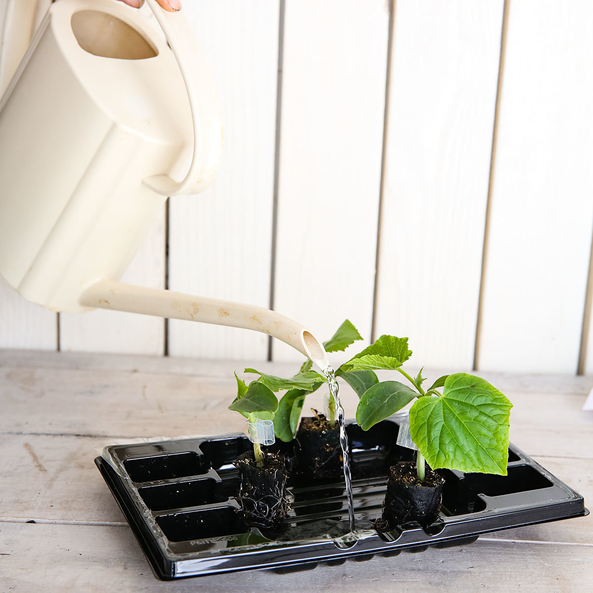 Mini-Jungpflanze Gurke Mini Stars F1, veredelt | #4