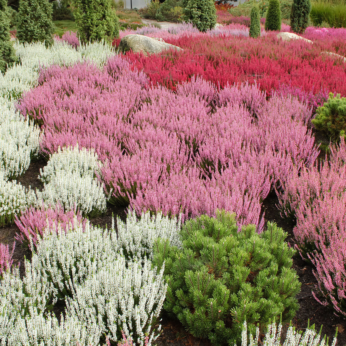 Knospenheide Gardengirls® Rosita | #4