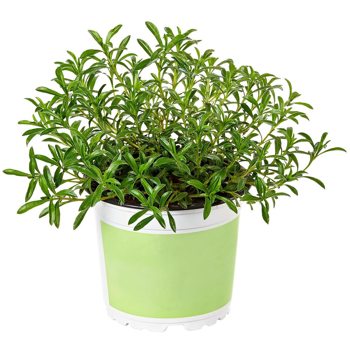 Kräuterpflanze Stauden-Bohnenkraut Bolero, im ca. 12 cm-Topf | #4