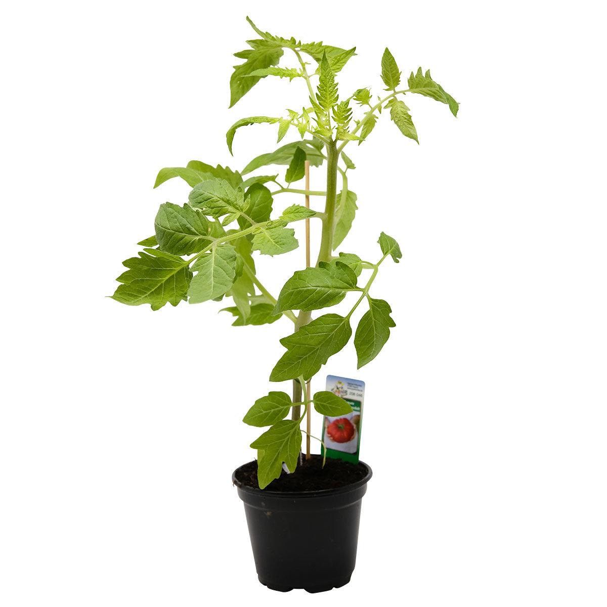 Tomatenpflanze Corazon, veredelt, im ca. 12 cm-Topf | #4