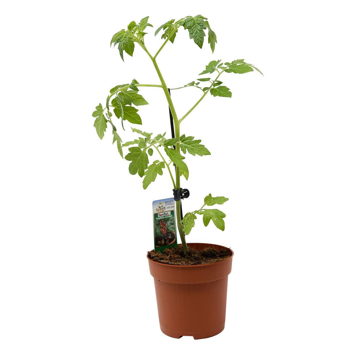 tomaten kartoffelpflanze tomtato veredelt von g rtner. Black Bedroom Furniture Sets. Home Design Ideas