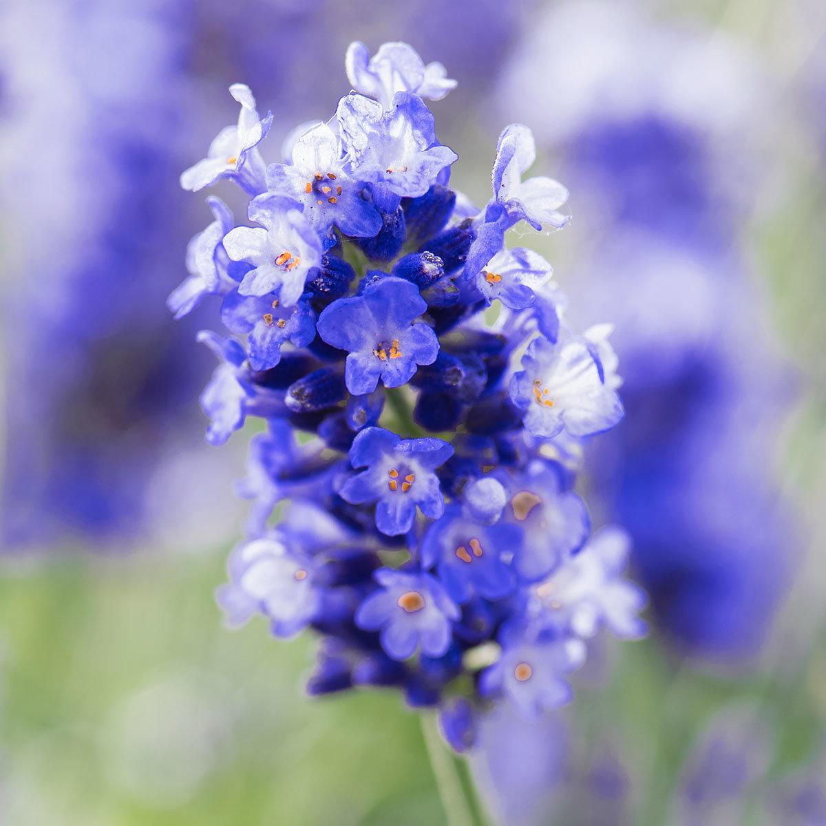 Lavendel Essence Purple, im ca. 19 cm-Topf | #4