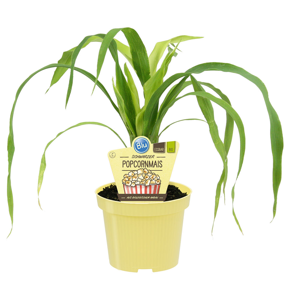 Maispflanze Schwarzer Popcorn-Mais   #4