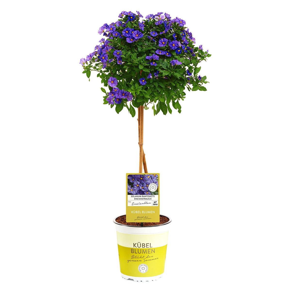 Enzian-Stämmchen,  azurblau, XL-Qualität | #4