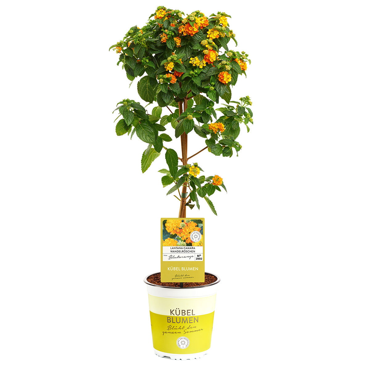 Wandelröschen-Stamm, orange, im ca. 19 cm-Topf | #4