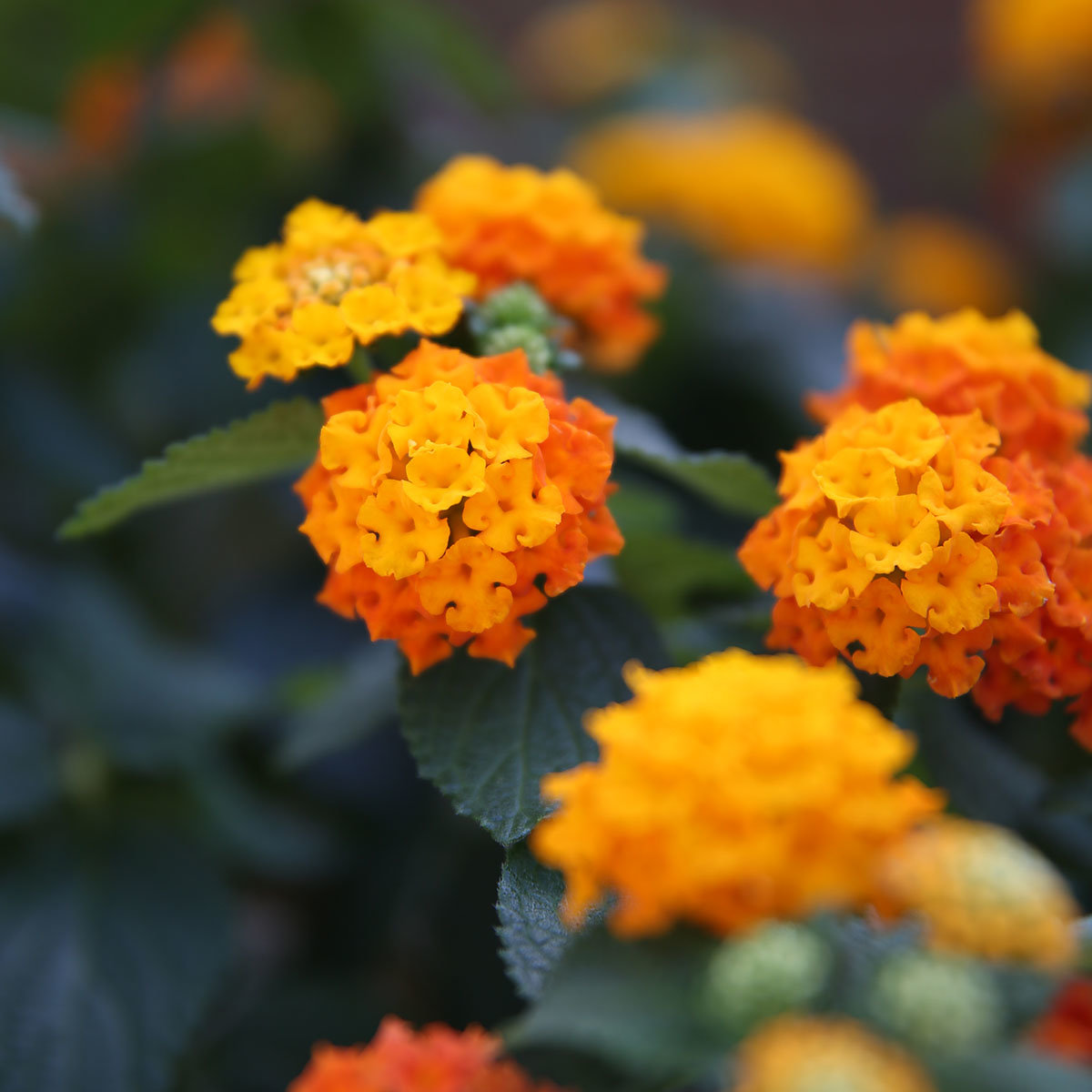 Wandelröschen-Busch, orange | #4