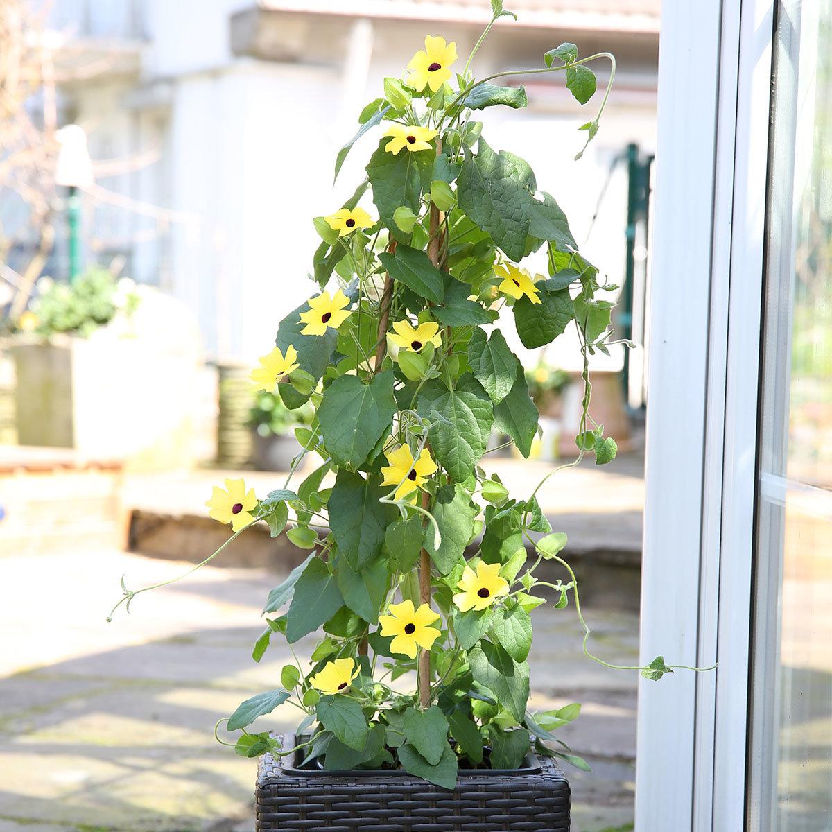 Schwarzäugige Susanne, gelb ca. 17 cm-Topf | #4