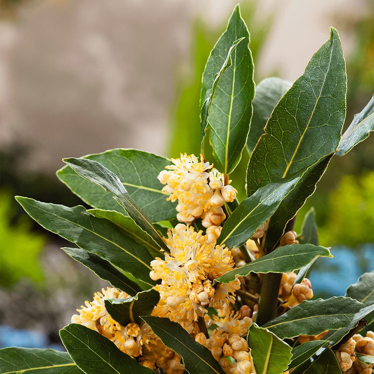 Kräuterpflanze Echter Gewürz -Lorbeer, im ca. 10 cm-Topf | #4