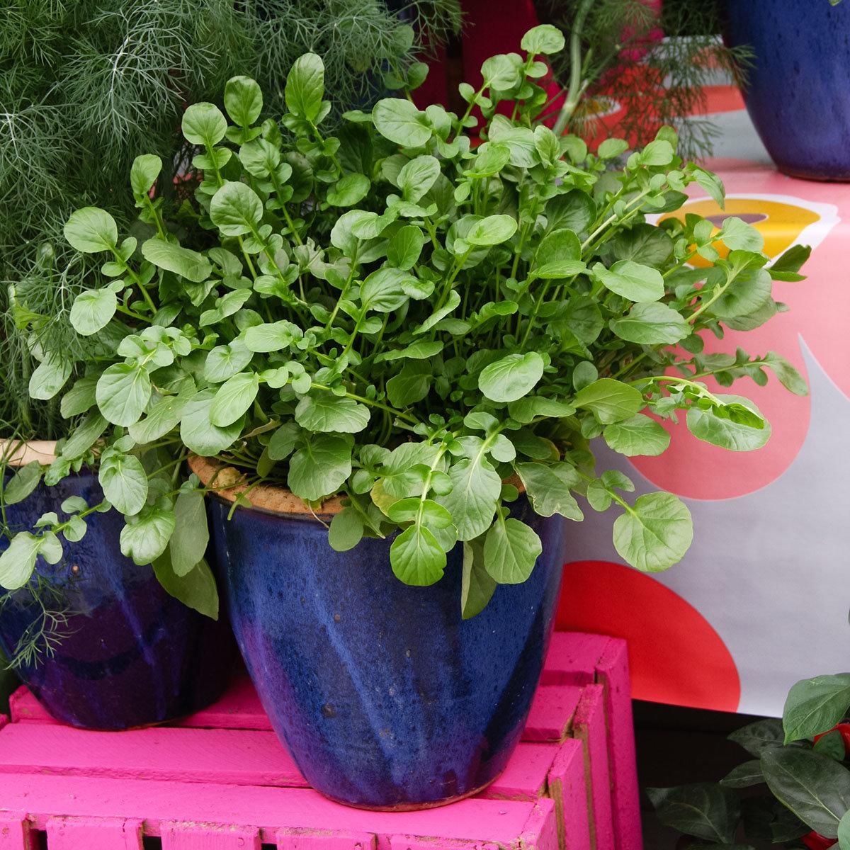 Landkressesamen Simply Salad Cress, Multi-Pellets | #4
